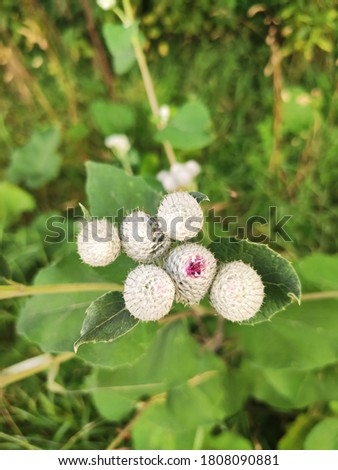 Burdock bloom in summer day, close up photo of bur. Weed photo. Herb photo close up. Blooming burdock. Nature background. Herb background. Green texture. Burdock close up. Beautiful nature. Pretty.