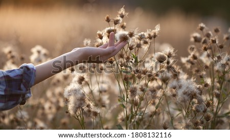 Girl touch thistle flowers with fluffy seeds on the meadow, hand close up. Evening light, beautiful sunset, neutral colors, soft focus. Natural background, website banner. Royalty-Free Stock Photo #1808132116