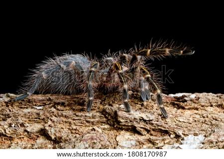 Grammostola Pulchripes tarantula (Chaco Golden Knee) on black background, tarantla side view on wood with black background