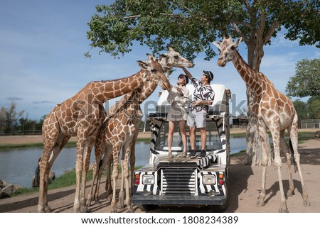 Couple taking a bus tour, feeding and playing with giraffe on safari open park zoo. Royalty-Free Stock Photo #1808234389