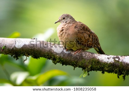A Ruddy Ground Dove perching on a lone branch in the rainforest. Brightly lit bird perching on a branch, A dove in natural surroundings. #1808235058
