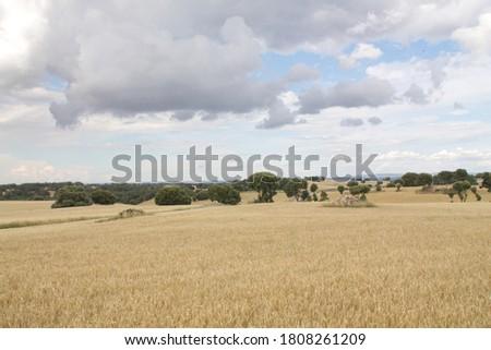 Field of wheat, Harwest of bread wheat , Triticum aestivum, Triticum monococcum #1808261209