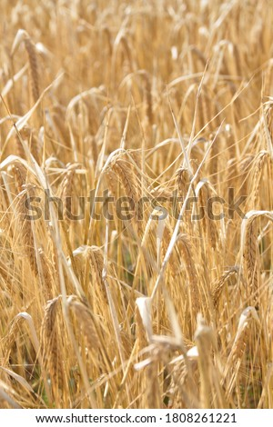 Field of wheat, Harwest of bread wheat , Triticum aestivum, Triticum monococcum #1808261221