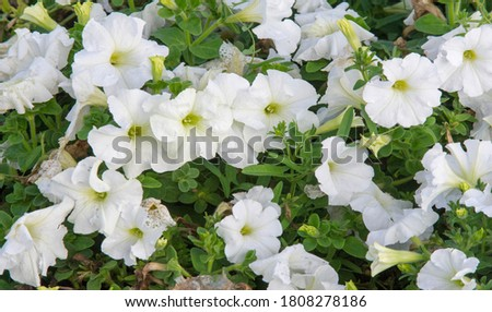 Petunia is one of the flowering plants of South American origin. This is the name of the French national name, the word petun, which means tobacco, from the language of Tupi - Guarani. #1808278186