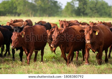 Dairy cow grazing in a field. Herd of cows grazing in a pasture in summer. Cattle farming, breeding, milk and meat production concept. Cows on a summer pasture Royalty-Free Stock Photo #1808380792