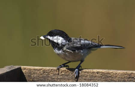 The Black-capped Chickadee (Poecile atricapillus) is a small, common songbird, a passerine bird in the tit family Paridae. #18084352