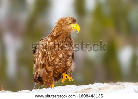 Beautiful picture of white-tailed eagle with blurry background. selective focus.