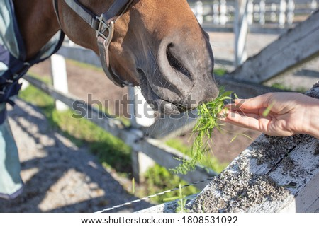 Woman feeding grass to a horse, outdoors, close-up, cropped photo, Concept, animal feeding, #1808531092