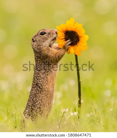 Cutest squirrel smelling a flower. Little chipmunk (Eutamias sibiricus) enjoying the flowers. Ground squirrel with beautiful yellow flowers. chipmunk loves flowers.