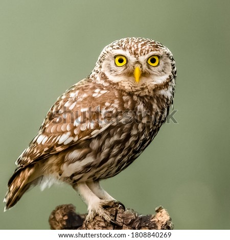 close up picture of owl sitting on wood with blurry background in my garden. selective focus. wildlife photography.