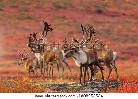 Curious herd of Barrenland Caribou keep an eye out for predators in Canada's Northwest Territories Royalty-Free Stock Photo #1808956564