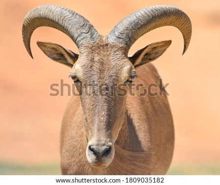 close up of male horned goat Royalty-Free Stock Photo #1809035182