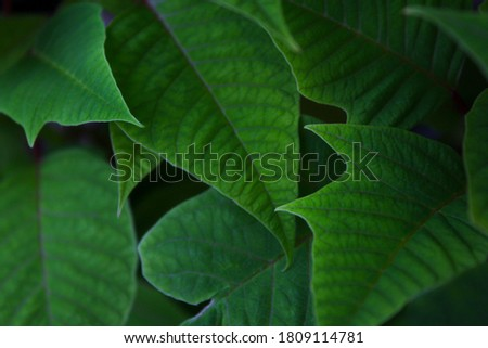 Green Poinsettia leafs. Picture is taken indoors. Contains mostly green colours that has calming effect. Perfect for a backround image.