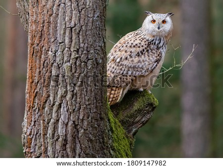 Beautiful picture of Eurasian eagle-owl sitting on tree with blurry background. The Eurasian eagle-owl is a species of eagle-owl that resides in much of Eurasia.