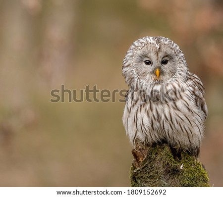 Beautiful picture of Ural owl sitting on wood with blurry background. The Ural owl is a fairly large nocturnal owl. It is a member of the true owl family, Strigidae.