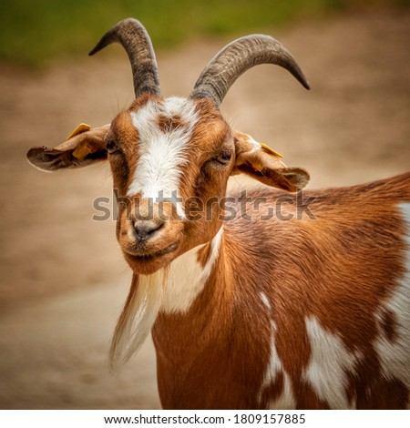 Picture of Indian breed goat