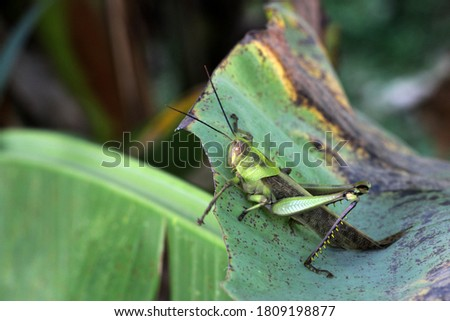 Grasshoppers are herbivorous insects of the suborder Caelifera of the order Orthoptera and are agricultural pests.