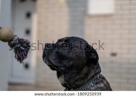 Young Cane Corso dog playing with his favorite toy on grass in the backyard #1809250939