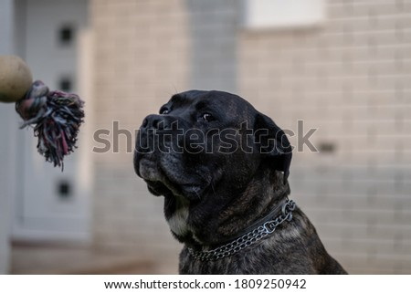 Young Cane Corso dog playing with his favorite toy on grass in the backyard #1809250942