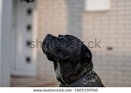 Young Cane Corso dog playing with his favorite toy on grass in the backyard #1809250960