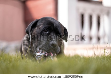 Young Cane Corso dog playing with his favorite toy on grass in the backyard #1809250966