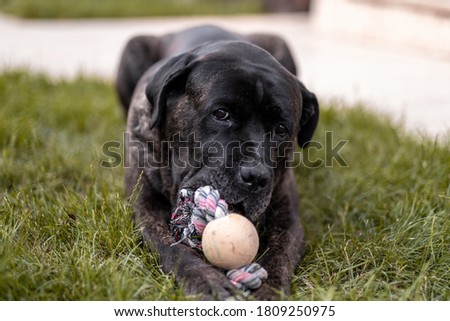 Young Cane Corso dog playing with his favorite toy on grass in the backyard #1809250975