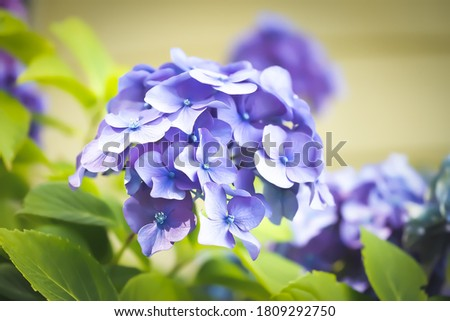 oil painting picture of hydrangea