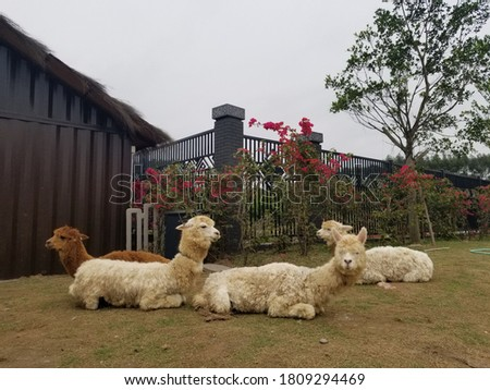 four cute alpacas in the picture