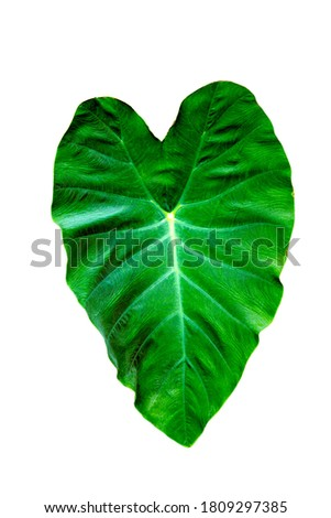 Tropical leafs growing in the nature foliage cut out on white background