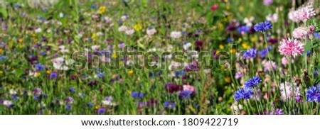 Cornflowers. Multicolored cornflowers. A banner with a cornflower blue field. Summer cornflowers in the grass. #1809422719