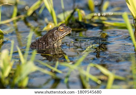 european common toad (bufo bufo) looking out of in shallow water