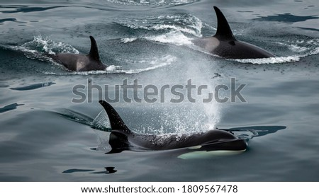 A picture of a pod of Alaskan Orca Whales.