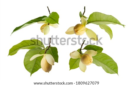 Set of Magnolia liliifera flower with leaves, Egg magnolia flower isolated on white background, with clipping path