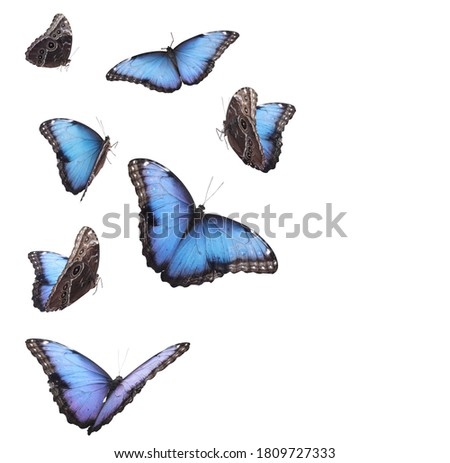 Amazing common morpho butterflies flying on white background Royalty-Free Stock Photo #1809727333