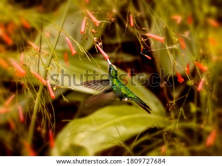 Photo of a hummingbird sucking from a small red flower in a garden.