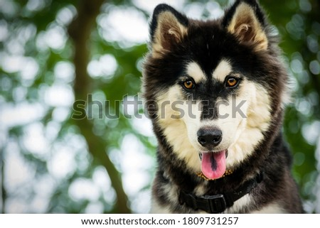 Outdoors portrait of a young female siberian husky, close up photo.