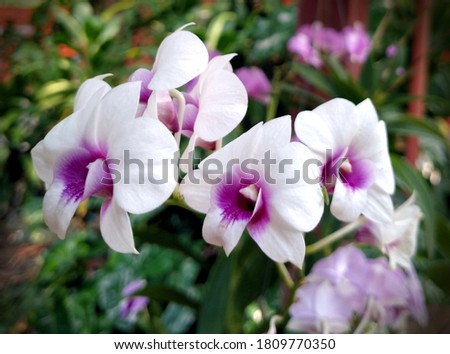 Dendrobium orchid in pink and white. Home plant grows in pot fresh and colorful. Vignetting corner.