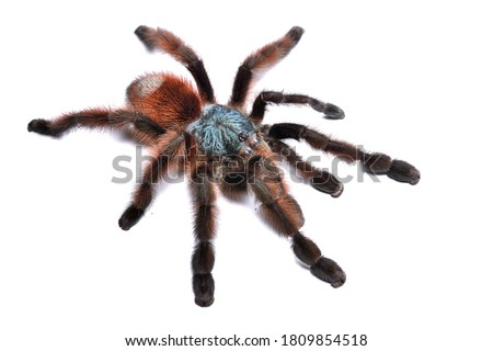 Closeup picture of a mature female of the Antilles pinktoe tarantula or Martinique red tree spider, Caribena (Avicularia) versicolor [Araneae: Theraphosidae], photographed on white background.