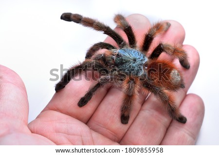 Closeup picture of a mature female of the Antilles pinktoe tarantula or Martinique red tree spider, Caribena (Avicularia) versicolor, photographed on a hand in front of white background.