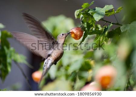 Pingara, chilean Giant hummingbird on an orange abutilon flower at garden Royalty-Free Stock Photo #1809856930