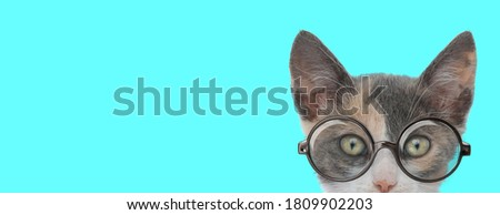 young nerdy metis cat hiding her face from camera, wearing eyeglasses on blue background