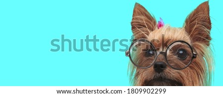 cute nerdy Yorkshire Terrier dog with face half hidden, wearing hairband with eyeglasses on blue background
