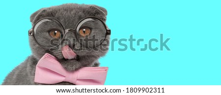 nerdy funny Scottish Fold cat licking his nose, wearing pink bowtie with eyeglasses and sitting on blue background