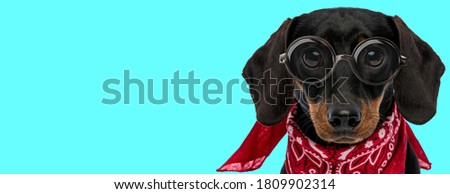 funny nerdy Teckel dog with no occupation, wearing eyeglasses with red bandana on blue background