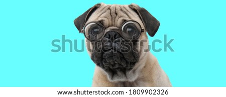 nerdy cute Pug dog sitting, wearing eyeglasses and looking at camera on blue background