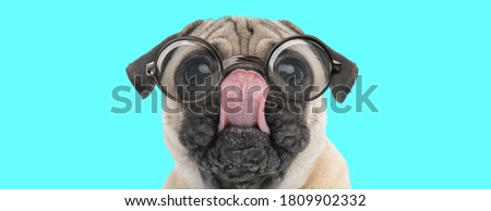 cute nerdy Pug dog fooling around, licking his nose, wearing eyeglasses and sitting on blue background