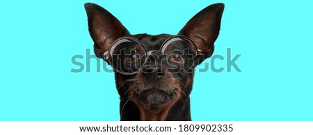 cute nerdy Pincher dog wearing eyeglasses and looking at camera on blue background