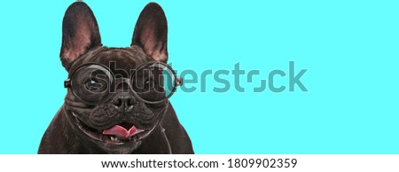 nerdy French Bulldog dog standing, sticking out his tongue, and wearing eyeglasses on blue background