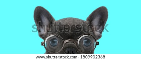 young nerdy French Bulldog dog bowing his head, wearing eyeglasses on blue background