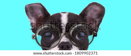 young nerdy French Bulldog dog hiding his face from camera, wearing eyeglasses on blue background